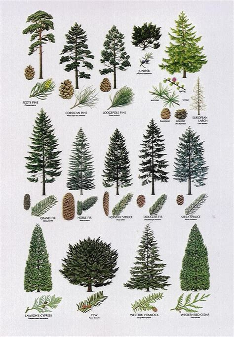 christmas tree types comparison best 25 tree identification ideas only on tree planting shrubs and identification