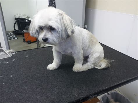 havanese with 17 havanese with haircut the writing groomer havanese clinica veterinaria