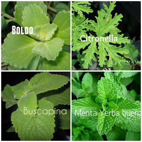 imagenes de hojas raras plantas raras plantas medicinales