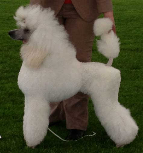 file poodle cropped jpg wikimedia commons