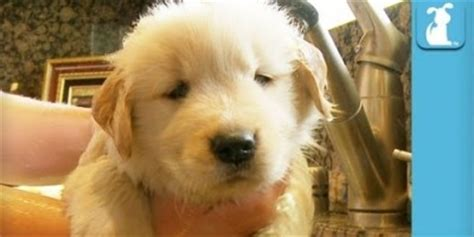 fluffy golden retriever fluffy golden retriever puppy taking a bath is just so aww cutenessoverload
