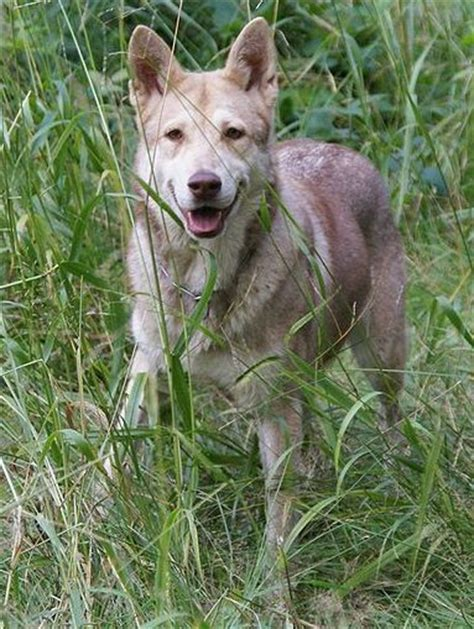 wolfhound puppies ohio saarloos wolfhound breeders in michigan cost range for saarloos wolfhound