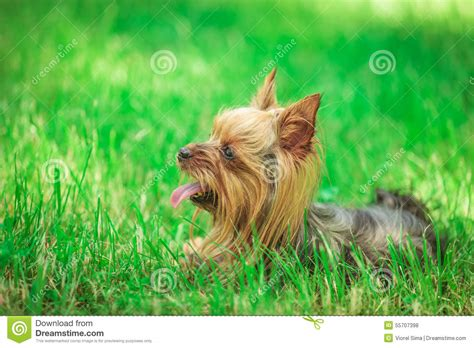 yorkie panting side view of a terrier puppy panting stock photo image 55707398