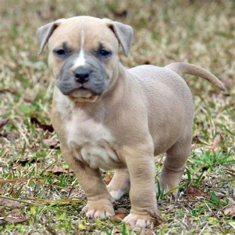 fawn colored fawn colored pit bulls related keywords fawn colored pit bulls keywords