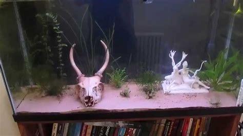 planted axolotl  guppy tank youtube