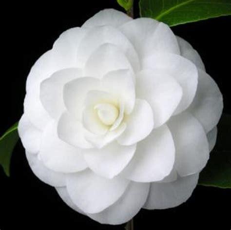 imagenes flores invierno 10 flores de invierno para macetas de interior y exterior