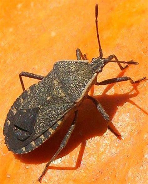 squashed bed bug squash bugs cucurbits ontario cropipm