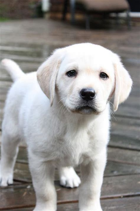 white lab puppy best 25 white labrador ideas on white lab puppies white lab and yellow