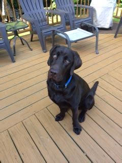 chocolate lab puppies for adoption in nc view ad labrador retriever puppy for sale carolina candler usa