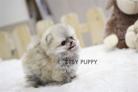teacup pomeranian adults size sold ruby micro pom itsy puppy teacup microteacup puppies for sale