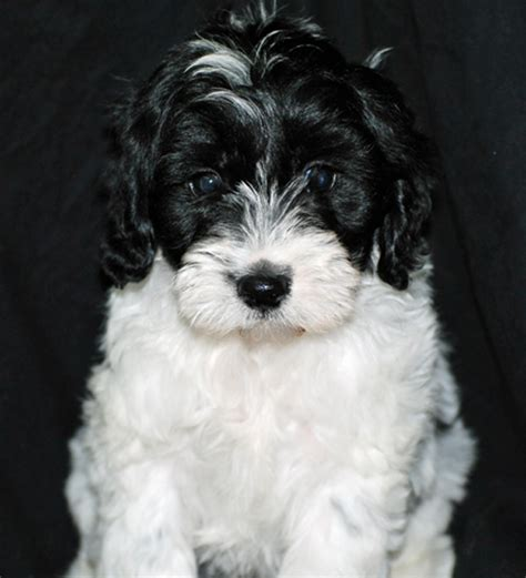 white and yorkie white and black yorkie puppies www pixshark images galleries with a bite