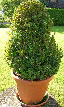buchsbaum alternative buchsbaum hortipendium
