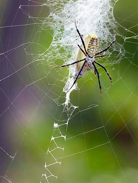 Banded Garden Spider Cycle 17 Best Images About Itsy Bitsy Spiderwebs On
