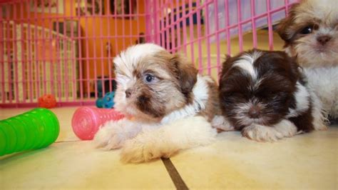 imperial shih tzu puppies for sale in ga imperial shih tzu puppies for sale in atlanta ga at puppies for sale local breeders