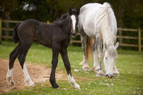 fjord horse facts shire horse foal