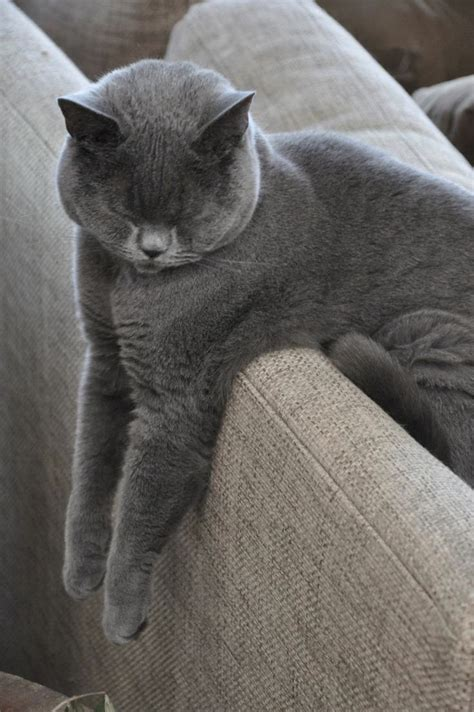 sle of grey phineas our 2yr shorthair sleeps in the most