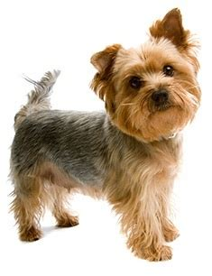 how many puppies do yorkies therapy dogs