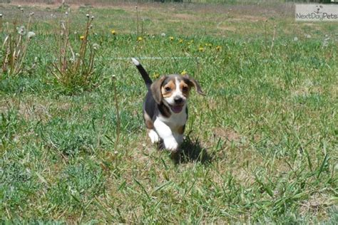 teacup beagle puppies beagle puppy for sale near missoula montana 027e7f32 c211