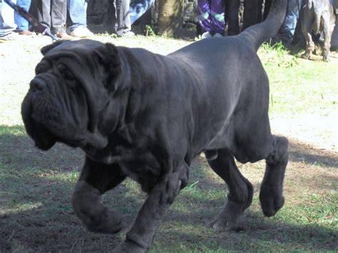 mastiff puppy mastiff breeds animals wiki pictures stories