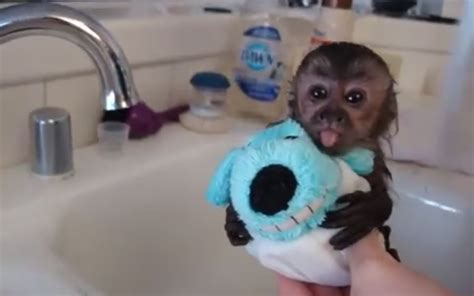 can i repaint my bathtub monkey in bathtub 28 images baby monkey adorable gif wifflegif baby monkey