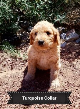 puppies for sale in new mexico view ad goldendoodle puppy for sale new mexico rancho usa