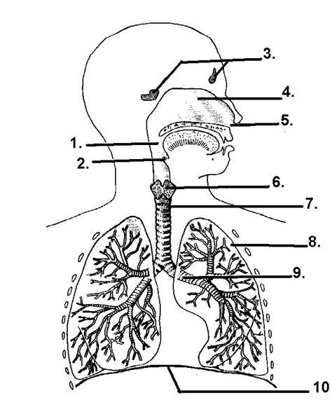 printable coloring pages respiratory system respiratory system coloring pages coloring home