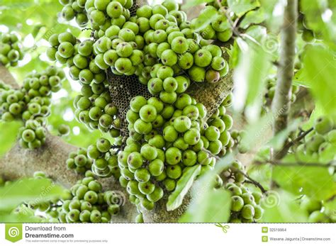 cluster exeter 9 tree cluster fig on tree ficus racemosa stock photo image 32519964