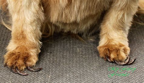 cutting yorkie nails how to trim yorkie nails breeds picture