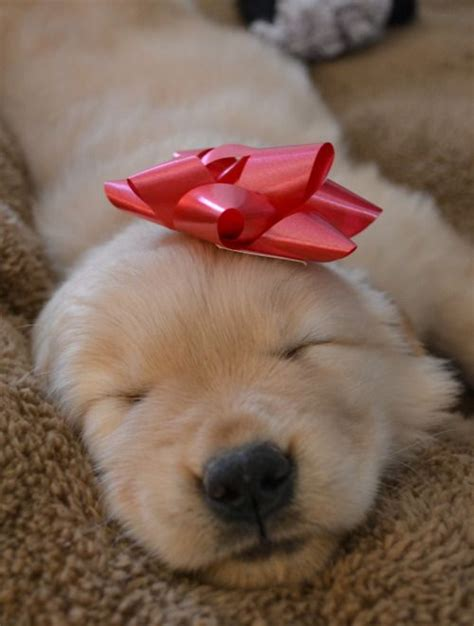 puppy present 1000 ideas about puppy on pictures