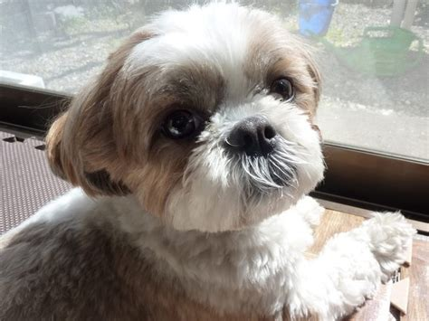 shih tzu skin allergy 17 best images about shih tzu on puppys teddy puppies and