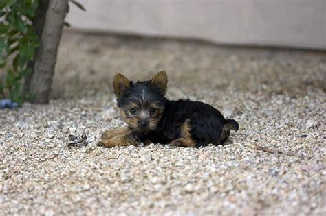 teacup yorkie health issues teacup yorkie puppies dogtime