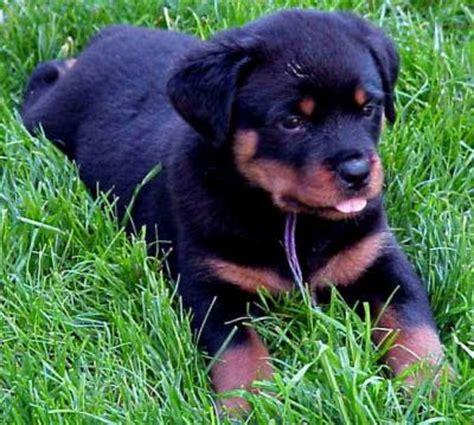 chion rottweiler assurer votre chien rottweiler categorie 2 assurmontoutou assurance sante pour
