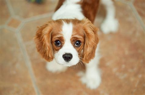 king charles puppies cavalier king charles spaniel puppies doglers