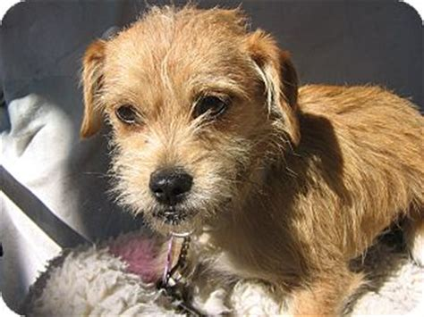 cairn terrier and shih tzu mix aki adopted irvine ca cairn terrier shih tzu mix