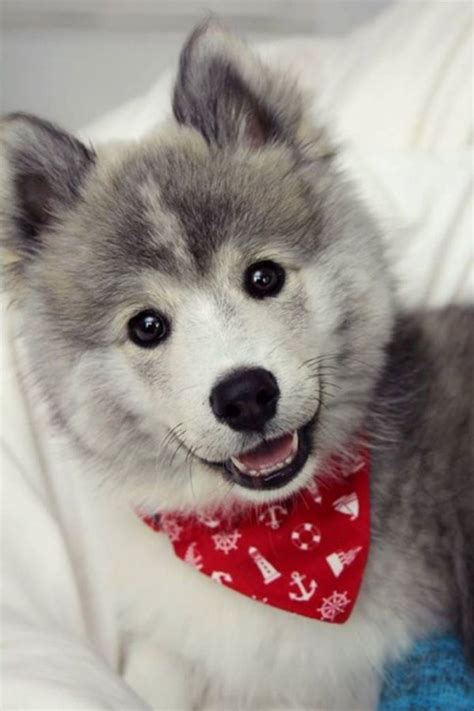 how much are pomeranian huskies pomsky or the pomeranian husky the cutest i am bored