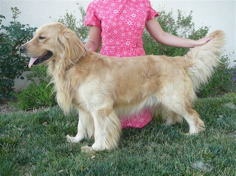 golden dox puppies for sale golden retriever golden retriever breeds picture