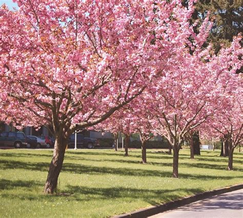 piante da fiore da giardino ciliegio da fiore piante da giardino coltivare ciliegio