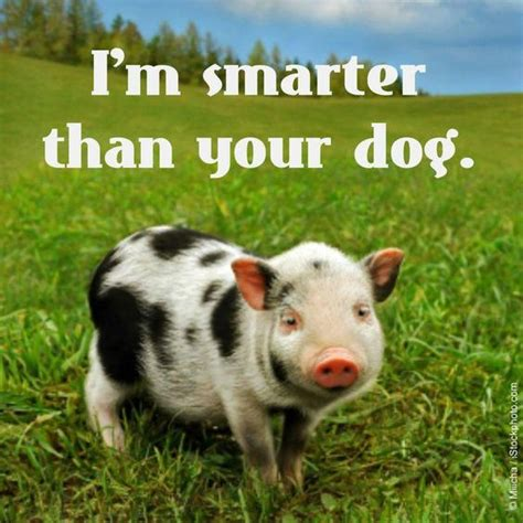 are pigs smarter than dogs top ten fascinating facts about pigs true facts and facts