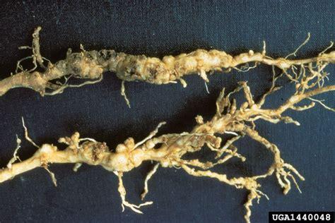 root knot nematode resistant vegetables backyard gardener root knot nematodes july 1 2015