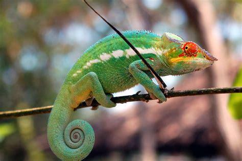 alimentazione camaleonte i camaleonti terraria