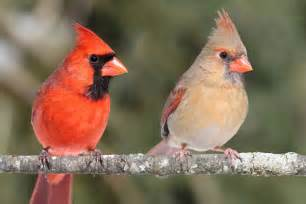 Backyard Birds Of Indiana Northern Cardinal Bird The Beautiful Redbird