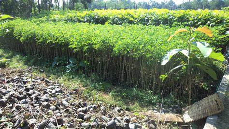 Jual Bibit Arwana Jakarta pohon pelindung jual bibit pohon tanaman