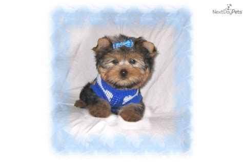 teddy bear cut for teacup yorkie yorkie teddy bear cut