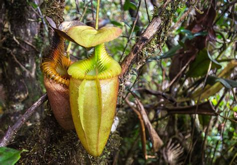 tropical rainforest carnivorous plants the tropical rainforests of borneo indoneo tours in