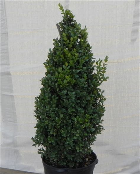 Home Interior Products Catalog boxwoods richmond va buxus richmond cross creek nursery