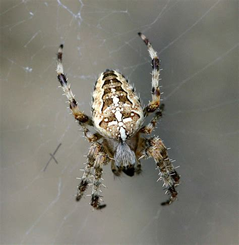 garden spider naturespot
