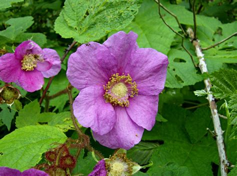 flowering raspberry shrub purple flowering raspberry rubus odoratus flora