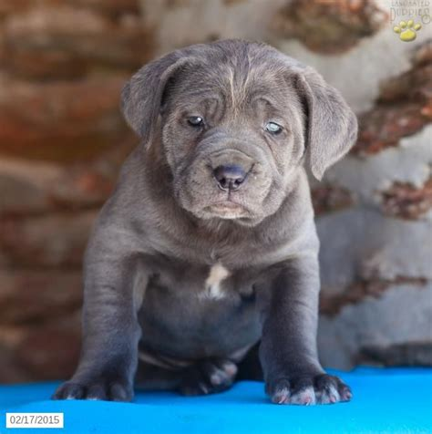 mastiff puppies for sale pa 15 best corso images on corso italian mastiff canes and italian