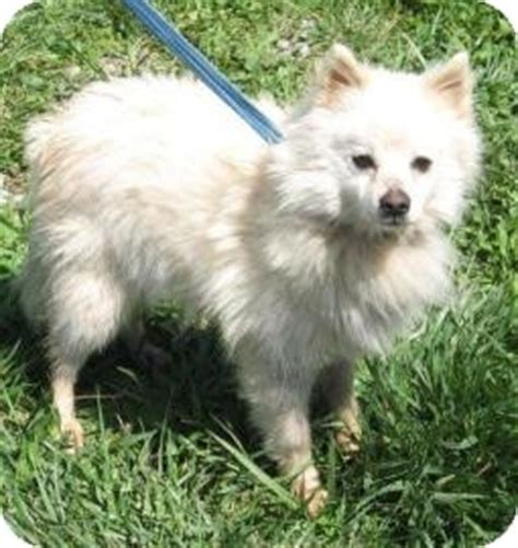 pomeranian puppies for adoption in pa boo adopted a15878249 philadelphia pa pomeranian