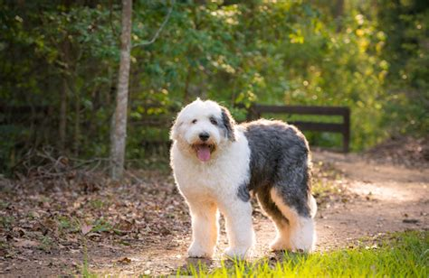 Old English Sheepdog Personality, History, and Pictures